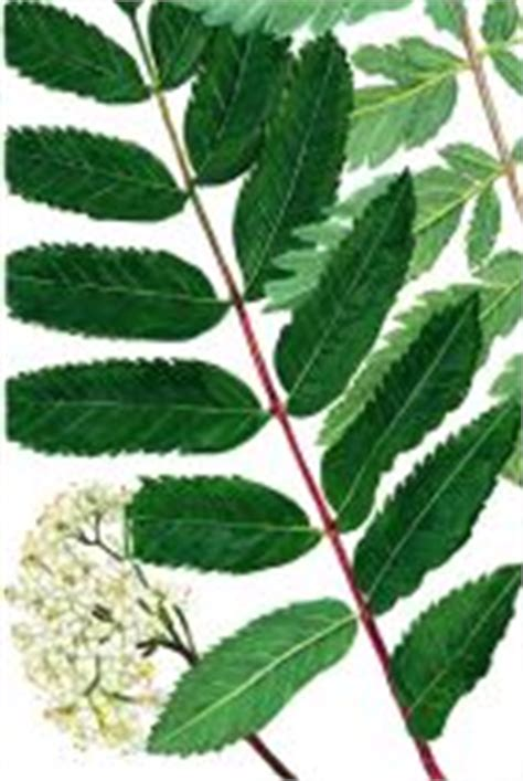 british trees  chart  trees leaves  fruit