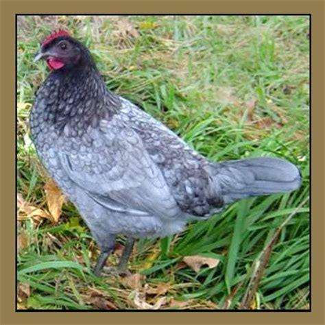 delaware blue hen chicken state bird and flower