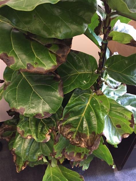 common houseplant problems fiddle leaf fig problem