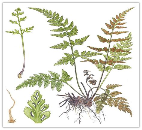 biologi kingdom plantae dunia ipa