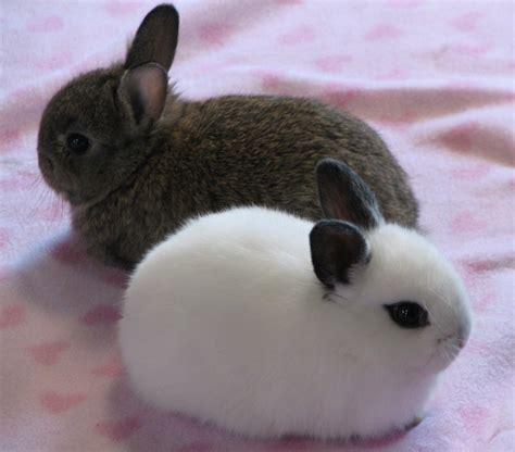 Gantungan Bunny Kopenhagen Bunny 1 14 hotot bunny rabbits located in great falls mt rabbits for sale in montana