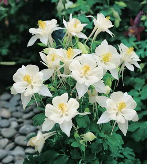 Aquilegia Origami And White - columbine seeds 31 columbines perennial flower seeds