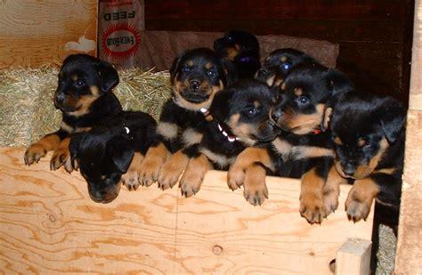 17 week rottweiler 6 week rottweiler puppies donnie x