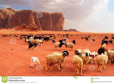 heat l for goats herd of bedouin sheep and goats stock photo image of