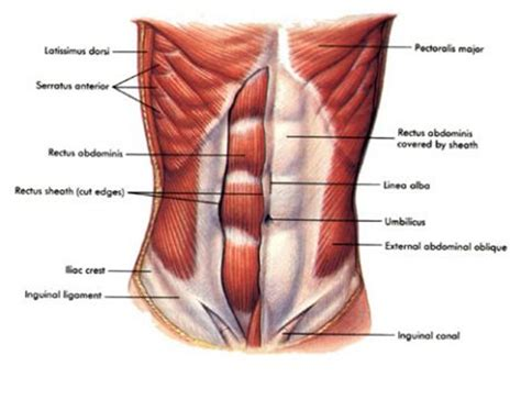 abdominal muscles diagram shoulder requirements for the tennis serve and backhand