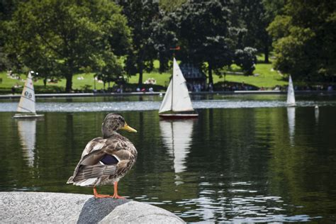 central park duck boats central park pond duck summer nyc walks of new york