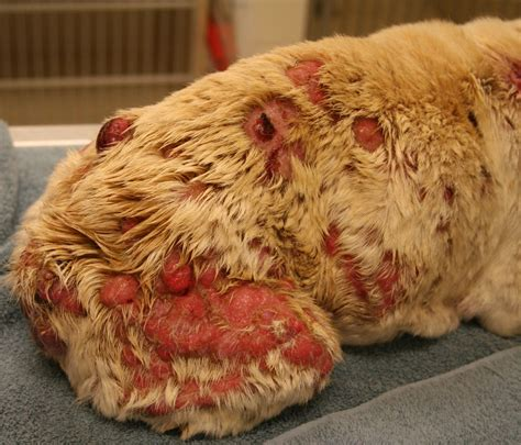 cancer in dogs skin cancer in dogs pictures to pin on pinsdaddy