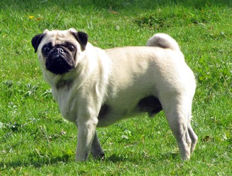 pug size pug breed 187 information pictures more