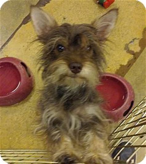 yorkie fox terrier mix miami fl yorkie terrier wirehaired fox terrier mix meet lola a for