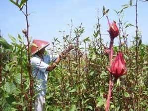 Teh Bunga Rosella Curah tahrin bloggs budidaya dan pemanfaatan tanaman rosella