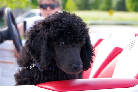 black poodle puppy pin black poodle puppies on