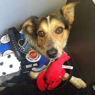 service dogs on planes 1000 ideas about emotional support animal on service dogs psychiatric