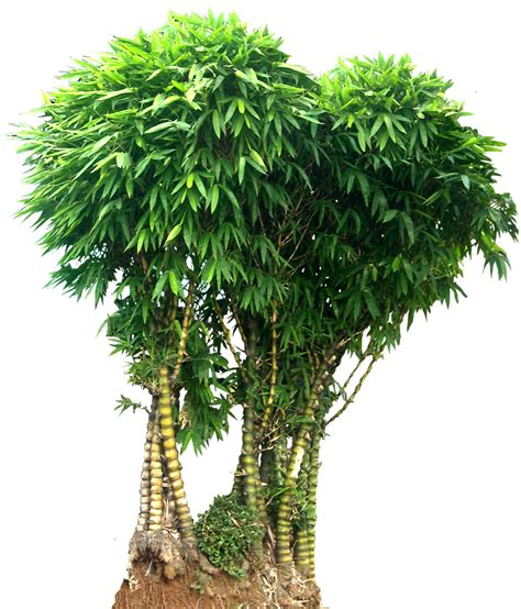 tree image free bamboo tree png images free