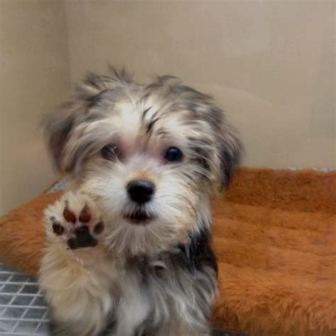 yorkie maltese puppies yorkie maltese breeds picture