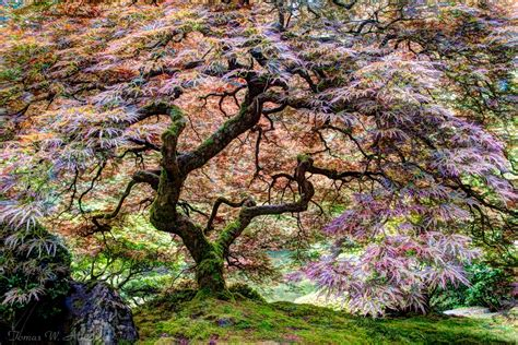 Tree Of by Portland Oregon Japanese Garden Tree Of Tomas W