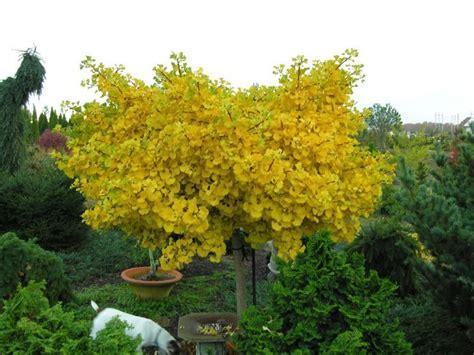 Ginkgo Biloba Mariken 736 by Ginkgo Biloba Jade Butterfly Gingko Tree Jade