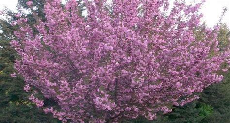 fiore ciliegio il ciliegio da fiore alberi coltivare ciliegio