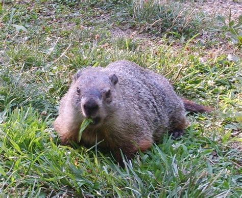 how to get rid of a groundhog in my backyard groundhog repellent how to get rid of groundhogs