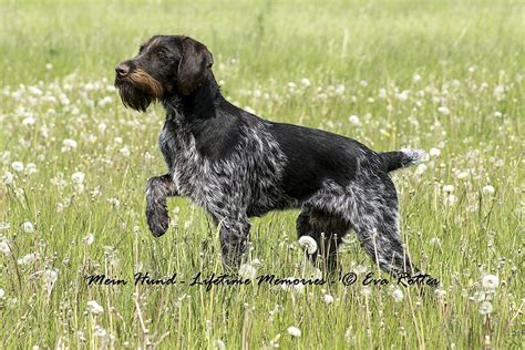 drahthaar puppies home drahthaar dogs for sale