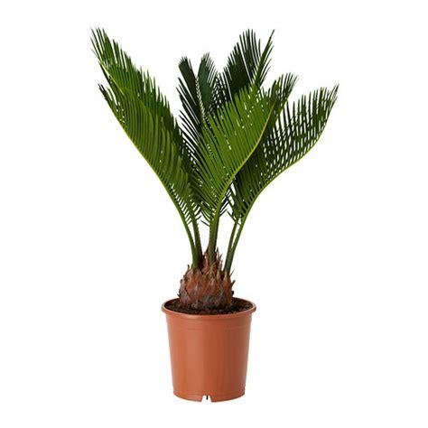pianta da vaso cycas revoluta pianta da vaso ikea