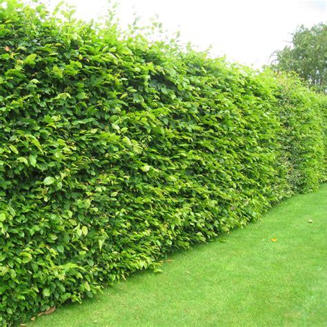 carpinus betulus hedging pack hornbeam hedging plants