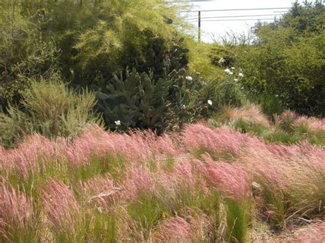 purple three awn purple three awn grass california garden pinterest