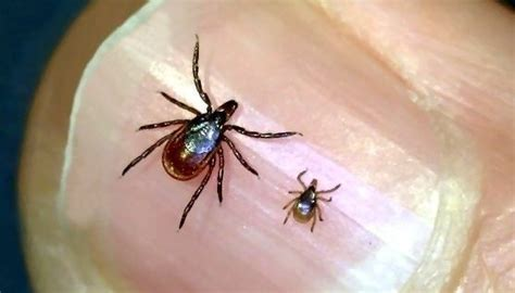 tick vs deer tick learn about the many types of tick species in new including identifying deer