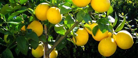 Dwarf Flowering Trees Meyer Lemon Tree Guide The Tree Center