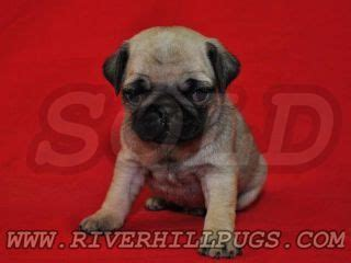 riverhill pugs riverhillpugs 169 2017 puppies available apricot black and fawn akc pug