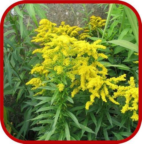 arbusti con fiori gialli solidago consigli coltivazione e cura