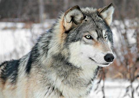 minicuentos de lobos y lobo gris