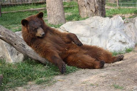 bears of color ieas news black bears vs brown bears what s the