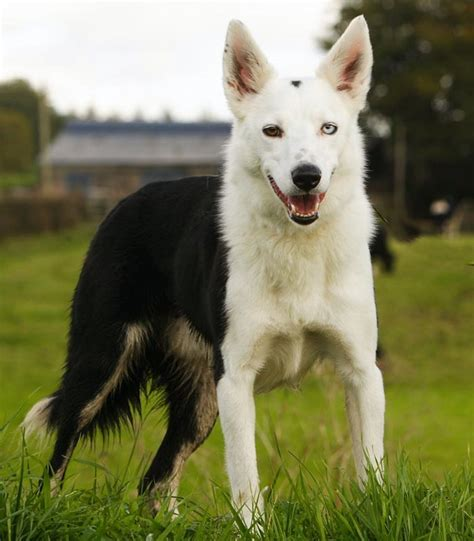 puppy spot breeder login sponsor a spot border collie cross dogs trust