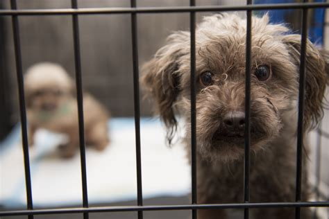 puppy mill laws california oregon lead on animal welfare policies while mississippi and the dakotas