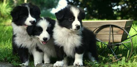 border collie puppie 12 imperative border collie steps and commands for pet owners
