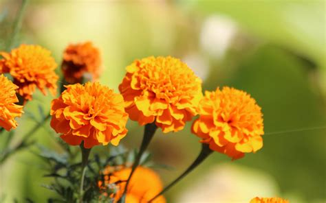 wallpaper with flowers wallpapers marigold flowers wallpapers