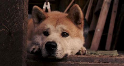 what of was hachi akita inu images hachi akita inu hd wallpaper and background photos 35242579