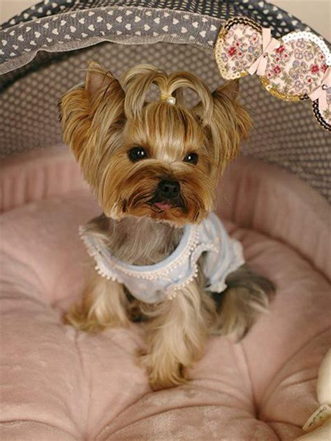 puppy haircuts for yorkie maltese mix 371 best dogs yorkies and mixed yorkies images on