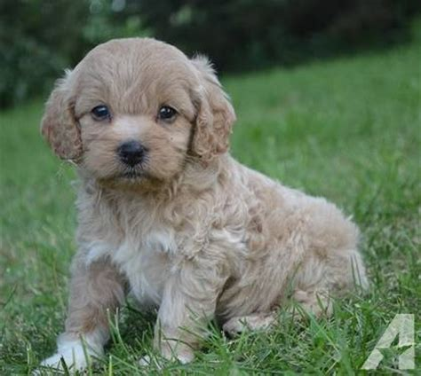 cockapoo puppies illinois adorable bichon cockapoo puppies for sale for sale in prairie grove illinois