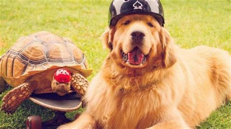 golden retriever santa barbara rescued tortoise and pet become the best of friends