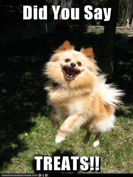 Pomeranian Meme - 62 best images about pomeranian memes on pinterest