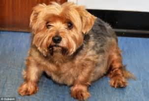 when do yorkies stop growing millions of pets early from diets of fatty foods and takeaways in growing