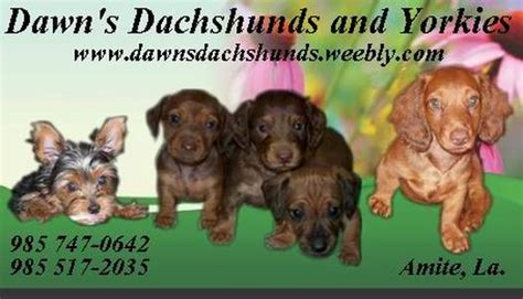 teacup yorkies for sale in new orleans s dachshunds yorkies amite louisiana 985 747 0642 s mini dachshunds