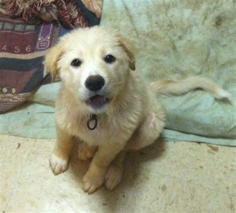 husky chow mix puppies white husky chow mix www imgkid the image kid has it