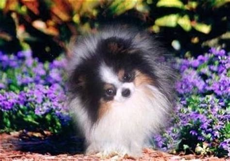 parti colored pomeranians 404 page not found error feel like you re in the wrong place