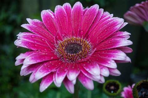 fiore gerbera gerbera gerbera jamensonii consigli coltivazione e cura