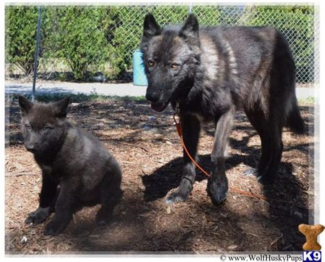 black wolf puppies for sale wolf puppy for sale black phase 3 years