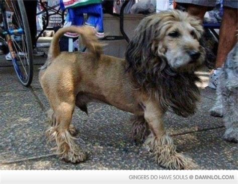 dogs that look like lions my looks like a damn lol