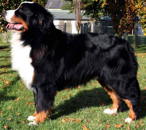 big breeds list large breeds list of all large sized dogs dogs big breeds