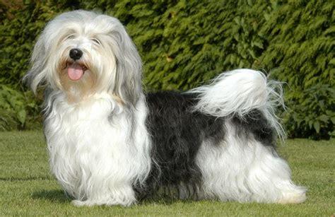 kennel club havanese canadian kennel club club canin canadien